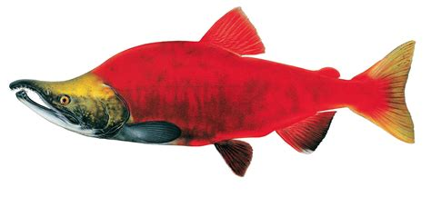 sockeye salmon drawing www pixshark com images galleries with a bite