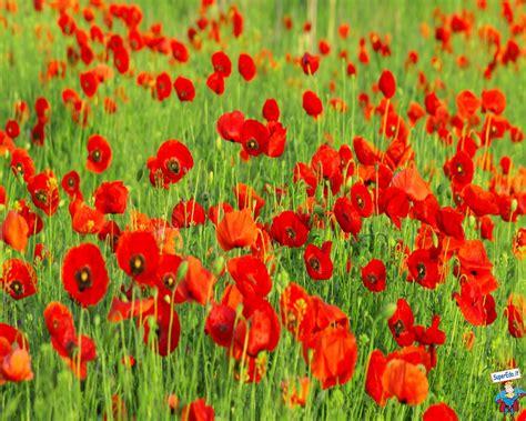 immagini di fiori di co immagini di papaveri foto fattoria bio didattica quot la