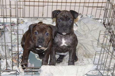 bull boxer puppies stunning bull boxer puppies staffy boxer thetford norfolk pets4homes