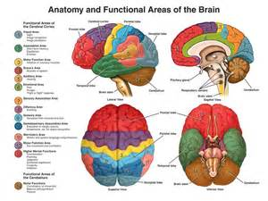 Child s brain development the intentional reader