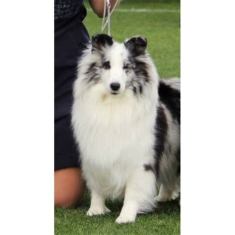 puppies for sale in prescott az shetland sheepdog sheltie breeders in arizona freedoglistings