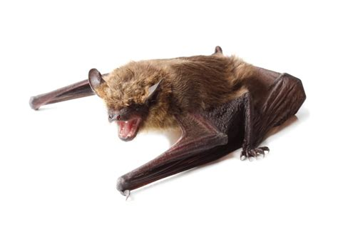 bat removal services toronto aaa affordable wildlife control