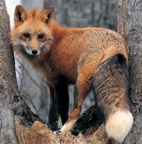 red fox in backyard 1000 images about foxes on pinterest wild women snow