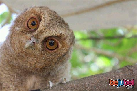Burung Hantu Owl Ukiran Kayu 1 Set 3 Pcs Asli Handmade informasi seputar dunia hewan
