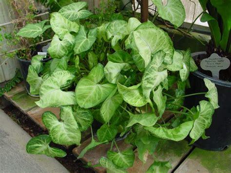 common houseplants arrowhead arrowhead vine care syngonium plant