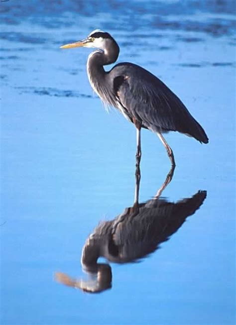 17 Best Images About Heron On Pinterest Herons Nests Blue Heron Meaning