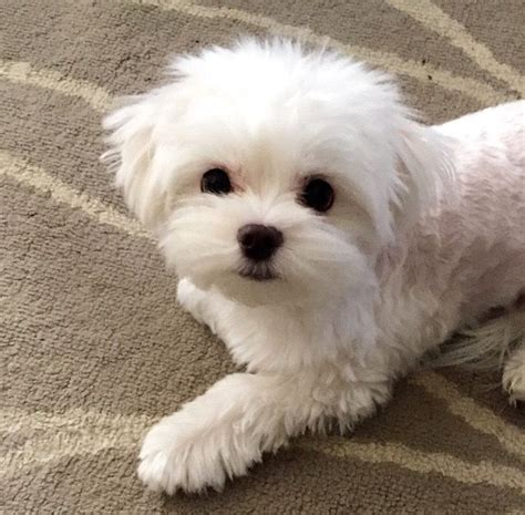 maltese puppy cut pictures 25 best ideas about maltese haircut on maltese dogs maltese and baby maltese