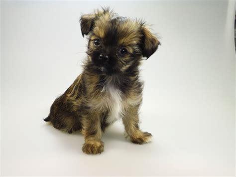 chihuahua x shih tzu puppies look so chihuahua x shih tzu puppy hull east of pets4homes