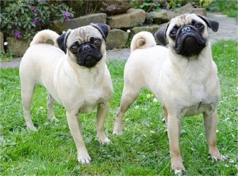 retro pug breeder pugs offer a sad reflection on selective pics