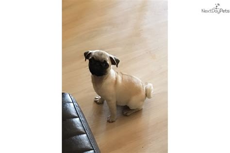 pug in el paso tx pug puppy for sale near el paso 5d716bb6 3471