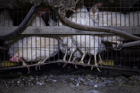 gabbie per galline ovaiole norma lombardia le terribili condizioni delle galline nelle
