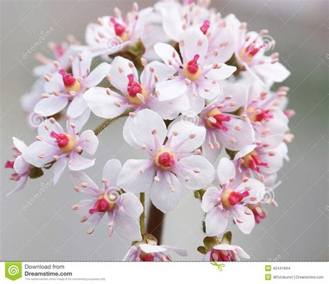 rabarber bloem indische rabarber stock foto beeld 42441844