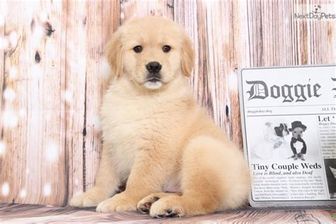 at what age are golden retrievers grown shayla golden retriever puppy for sale near baltimore maryland 61ff78b4 8461