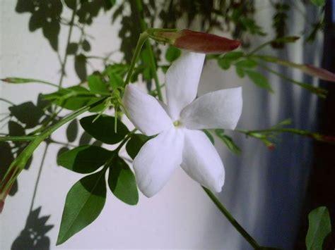 gelsomino fiore gelsomino significato linguaggio dei fiori il