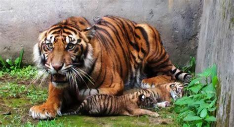 harimau sumatera lahirkan 2 anak di kebun binatang
