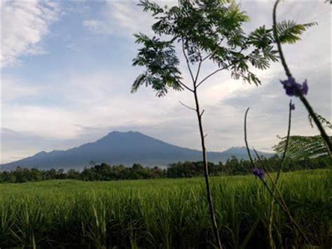 Bibit Sengon Lumajang kayu sengon pohon sengon harga pohon sengon harga