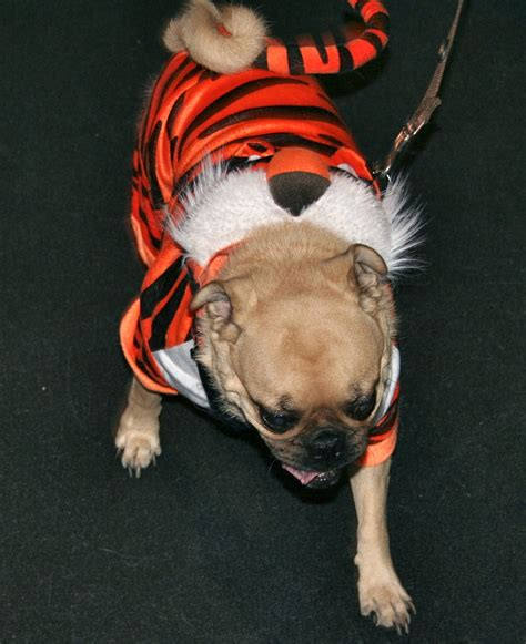 pugs bred for lions don t miss pugs in costumes talent hounds