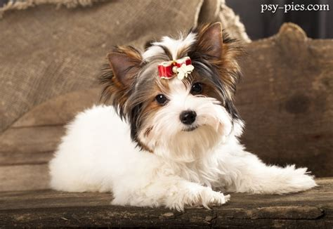 biewers yorkies biewer terrier