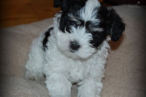 havanese puppies for sale in michigan havanese puppy for sale near saginaw midland baycity michigan 300dc834 f881