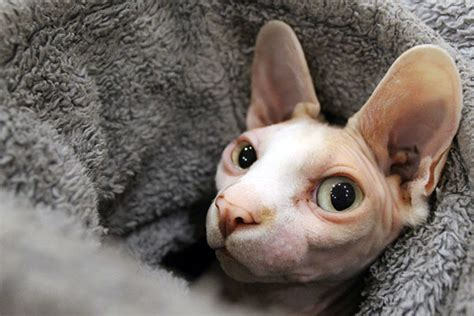 pleasant sphynx cat personality makes them amazing companions