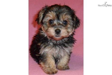 about yorkie poo yorkie poo animals yorkie