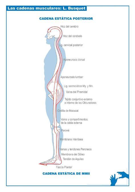 cadenas musculares tronco esquemas cadenas musculares