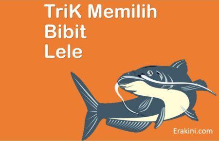 Bibit Lele Unggul budidaya tanaman 7 ciri bibit ikan lele berkualitas baik