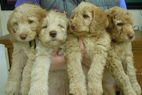 goldendoodle puppy breeders goldendoodle puppies for salegoldendoodle puppies for sale