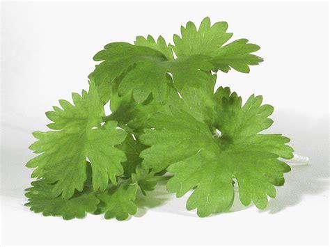 coriander cilantro cilantro bunch