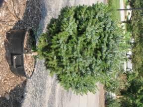 Fall planting evergreens schmalz custom landscaping