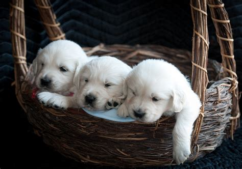 golden retriever puppies chattanooga tn tennessee valley goldens golden retriever