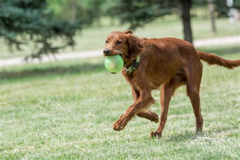 irish setter working dog irish shepherd dog www pixshark com images galleries