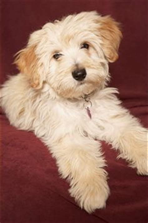 grandview havanese 1000 ideas about havanese grooming on havanese puppies havanese puppies