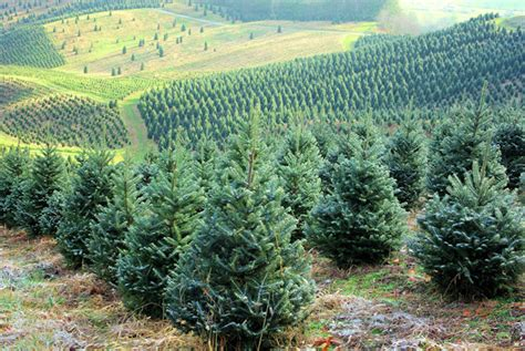 28 best christmas tree farms in nc mountains mile high