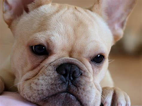 frenchie puppy bulldog puppies wallpapers pics animals