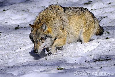 im 225 genes de un lobo gris im 225 genes y fotos lobo europeo en alemania im 225 genes de archivo libres de