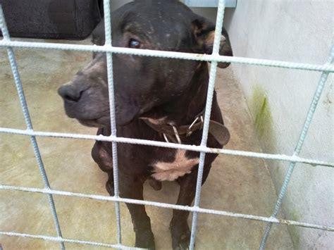 asl caserta sede legale l ombra dei combattimenti tra cani nel casertano le
