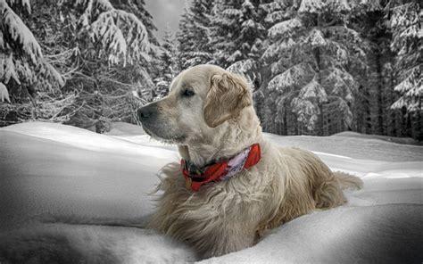 imagenes de invierno con animales fond d 233 cran chien neige assis bois collier 2560x1600