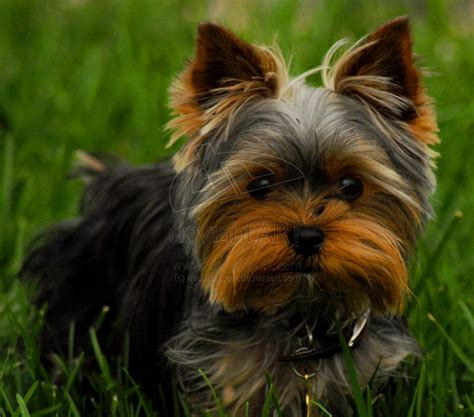 a yorkie terrier yorkie yorky by houstonryan on deviantart