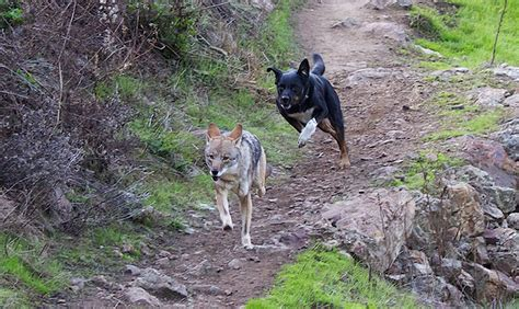 coyote with dogs how humans and dogs can coexist with coyotes in san francisco bay nature