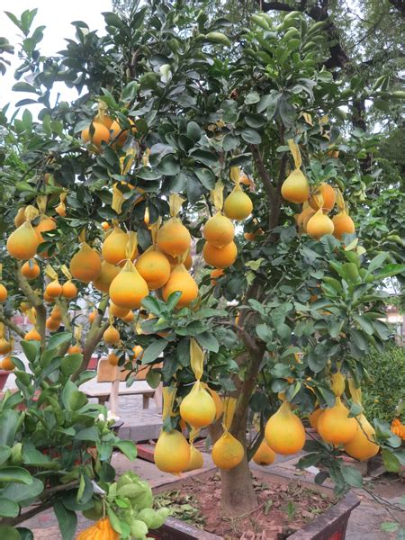 new year fruit tree plants laden with fruits on lunar new year khanh hoa news