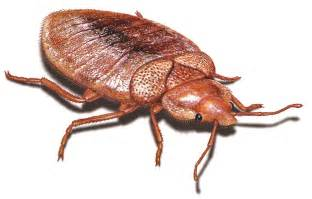 bett ungeziefer bilder pictures of bed bugs gallery of bed bug images photos