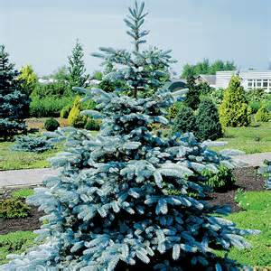Picea pungens koster colorado blue spruce dobbies garden centres