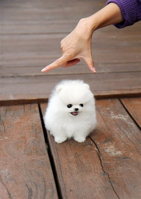 fluffy puppies breeds fluffy breeds
