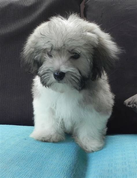 problems with havanese 475 best images about havanese on dogs photo galleries and