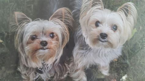 arizona yorkie rescue yorkie rescue terrier dogs for adoption in newhairstylesformen2014