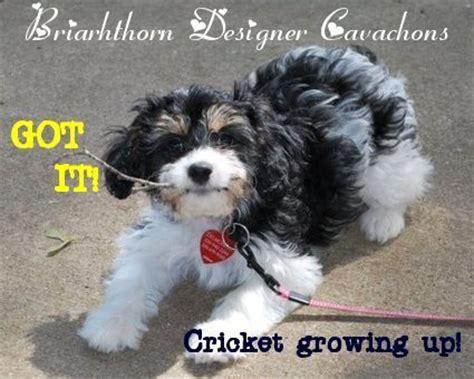 cavachon puppies nc cavachon pictures related keywords cavachon pictures