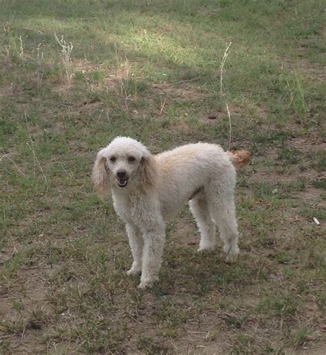 Rustty Miniature Goldendoodle Breeders In Washington Wa