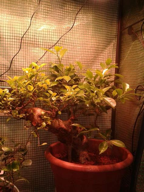 Bonsai Grow Light by Indoor Bonsai Led Lights Page 5