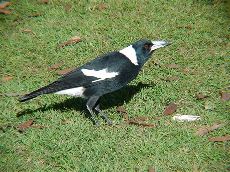magpie birds in backyards access the magpie survey birds in backyards